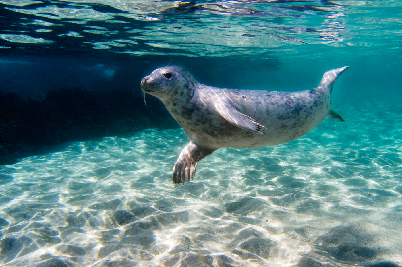 grey_seal_ireland
