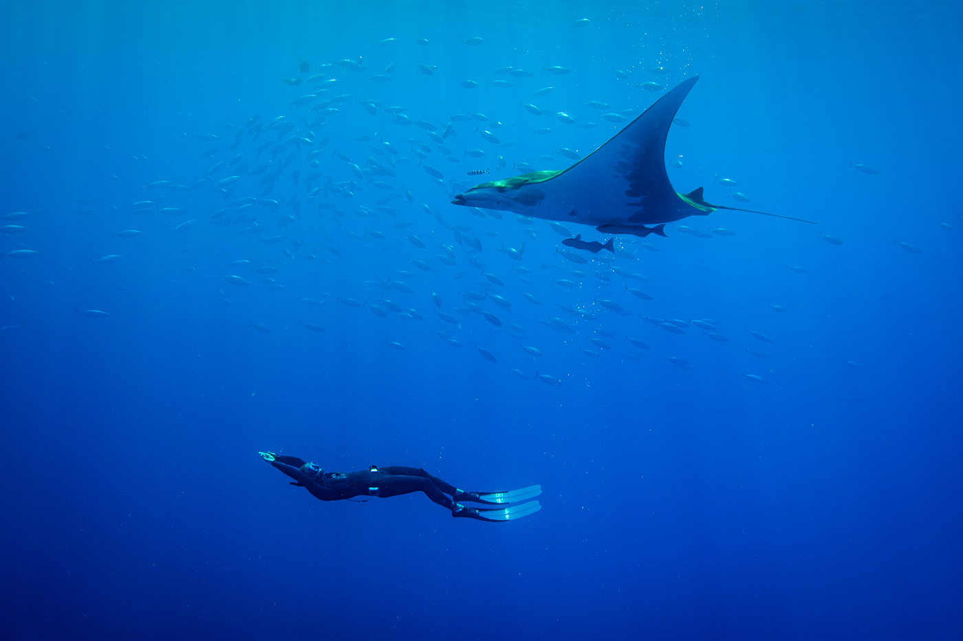 mobula ray and free diver in blue azores