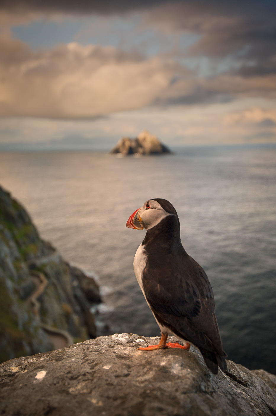 puffin looking from skellig michael to skellig rock