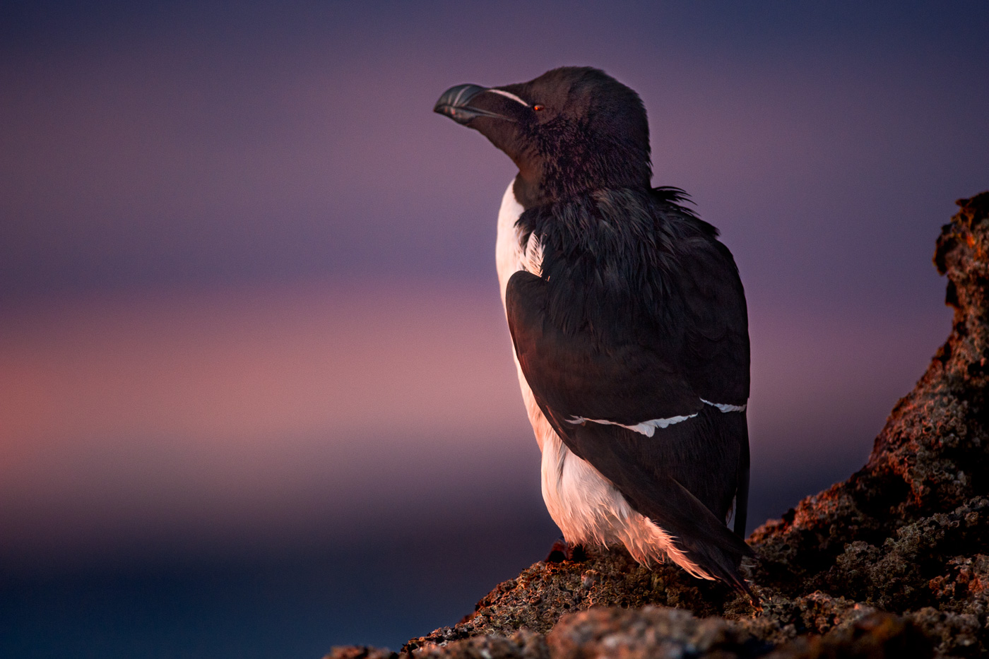 razorbill looking into sunset_ireland
