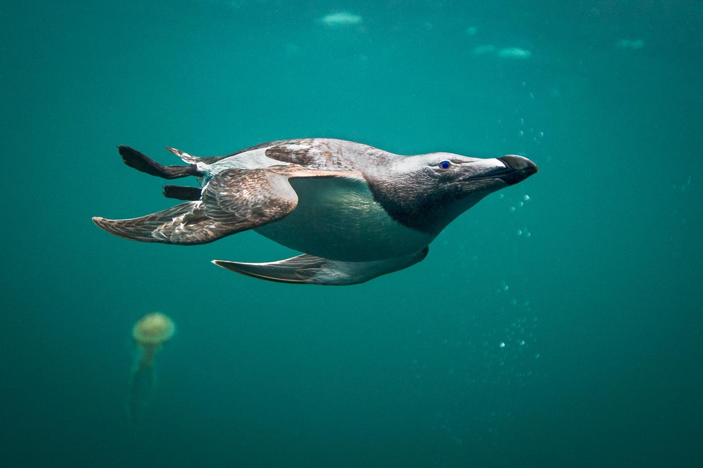 razorbill underwater ireland