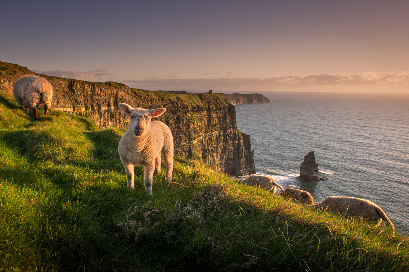 sheeps at cliffs of moher