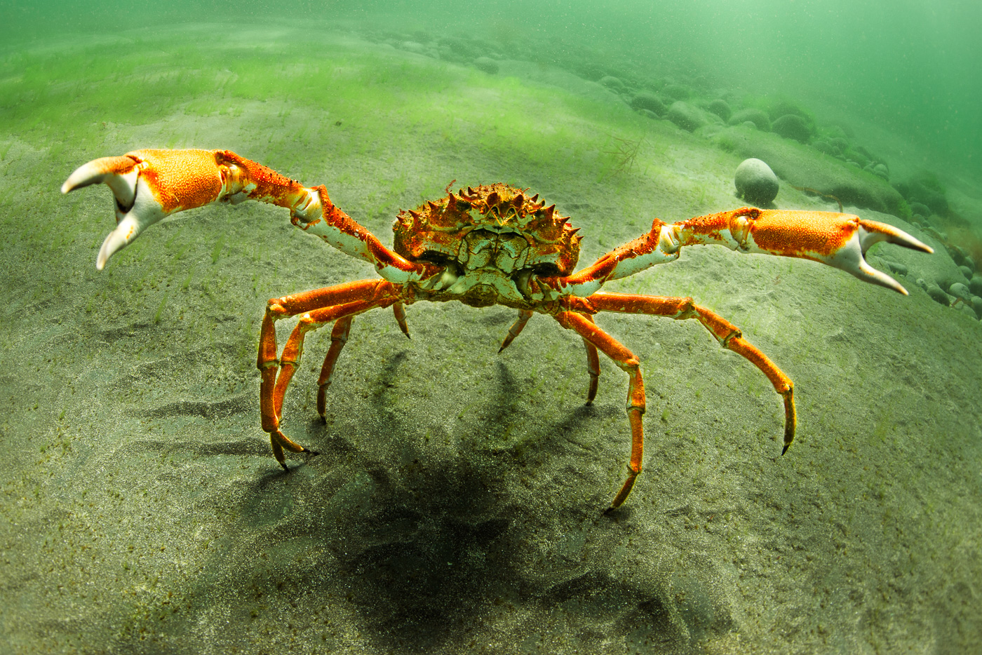 spider crab big claw