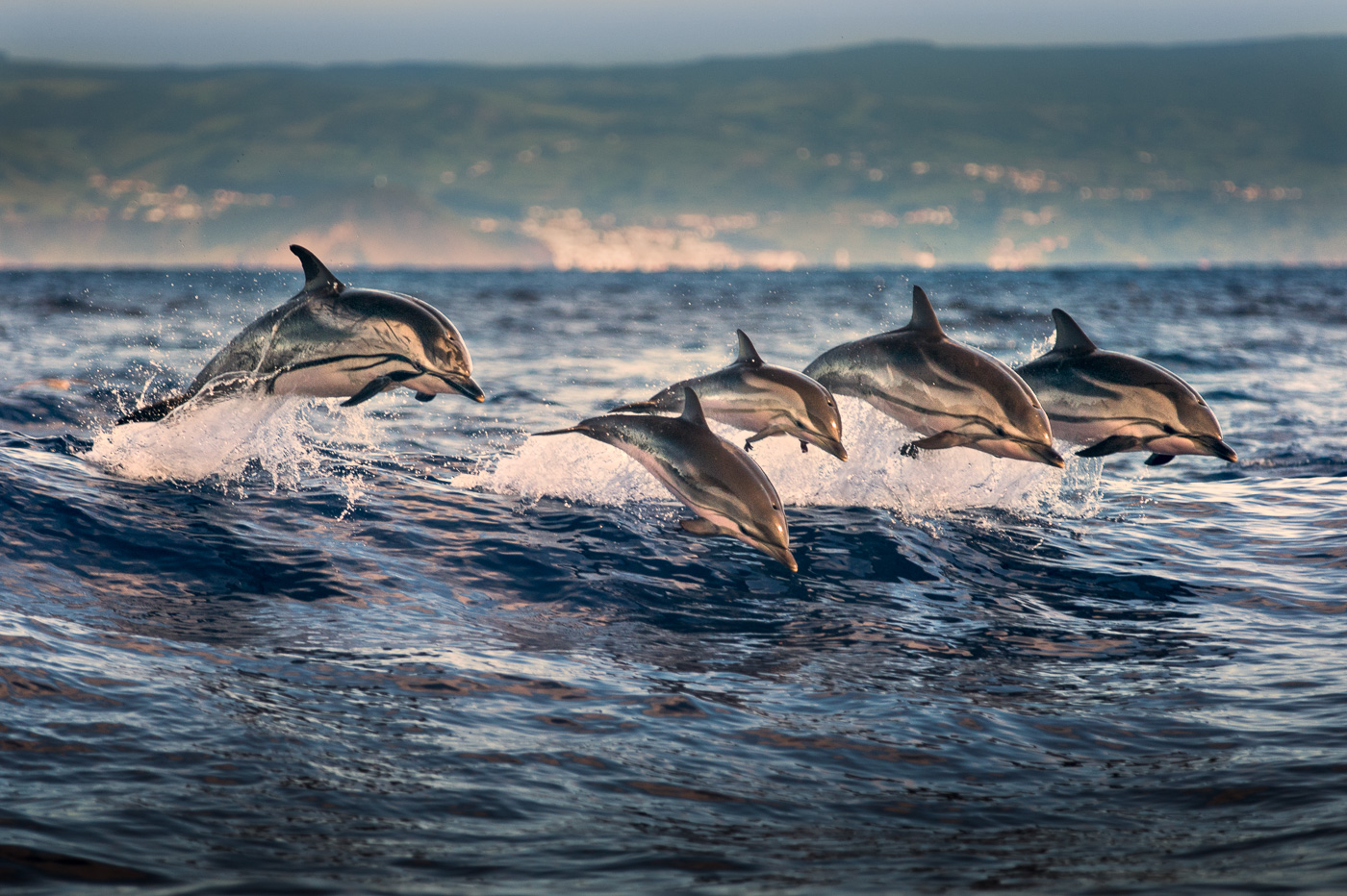 striped dolphins jumping synchronize azores