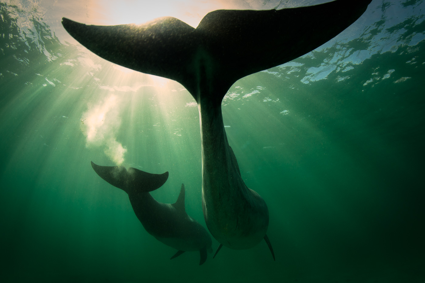 two bottlenose dolphins silhouette underwater ireland