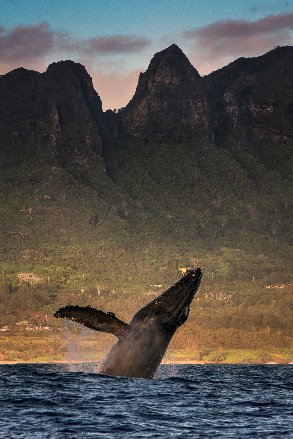 humpback whale breach with mountains in the background hawaii