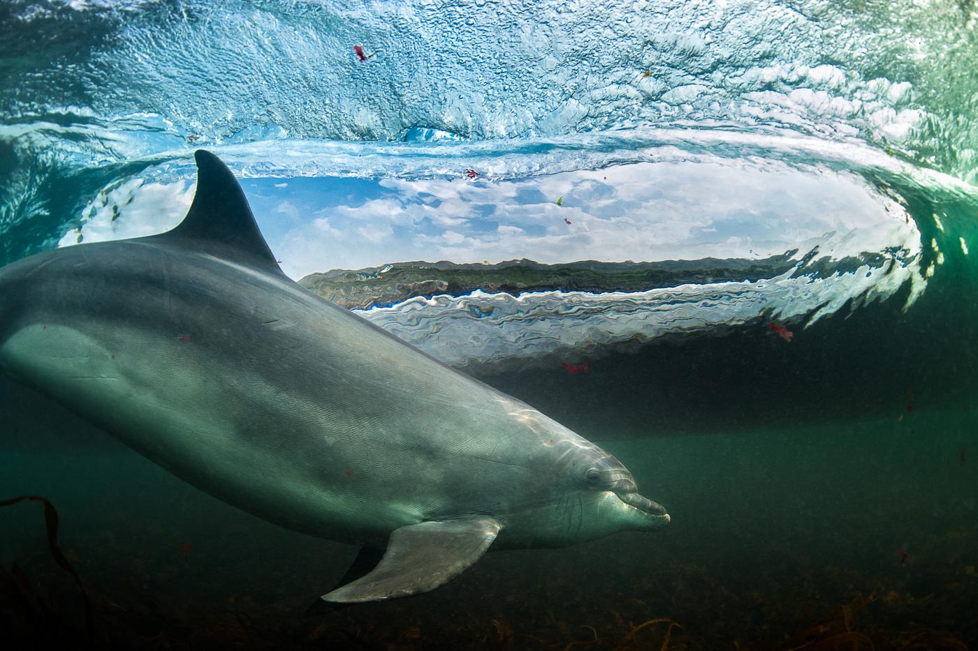 surfing dolphin underwater picture