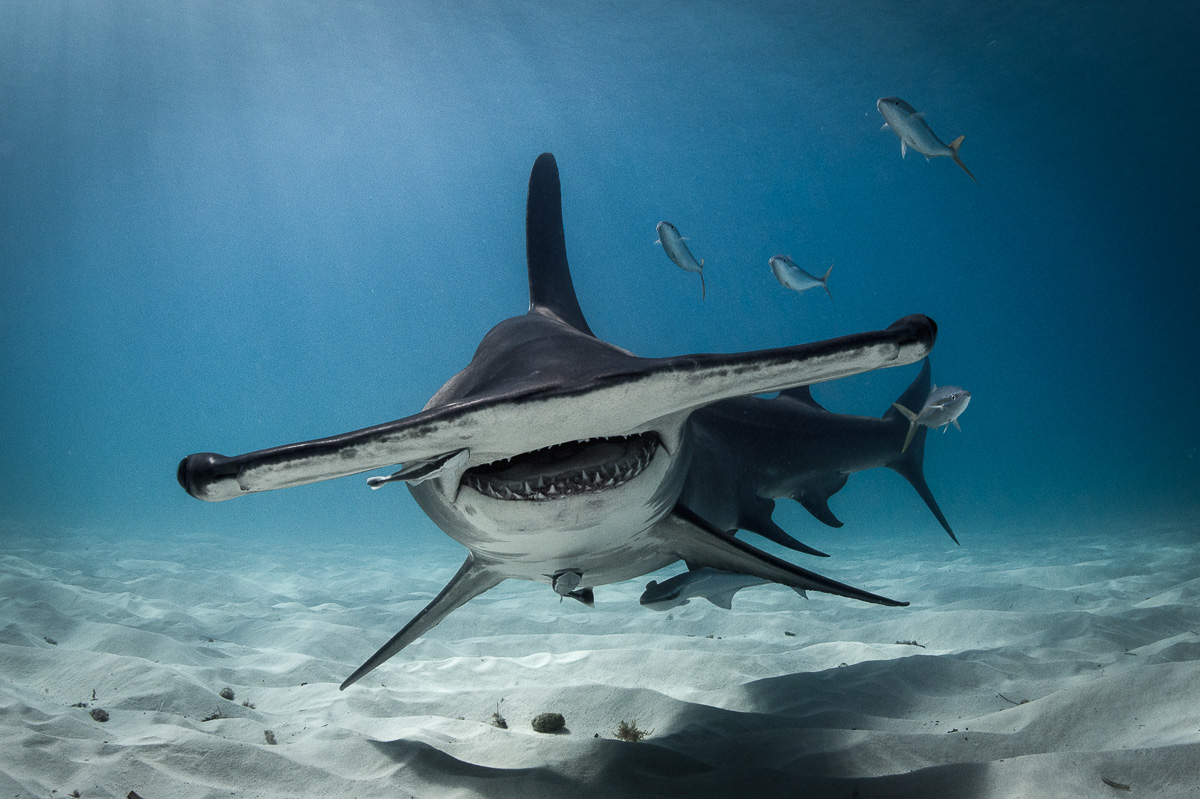 great hammerhead shark face great photo