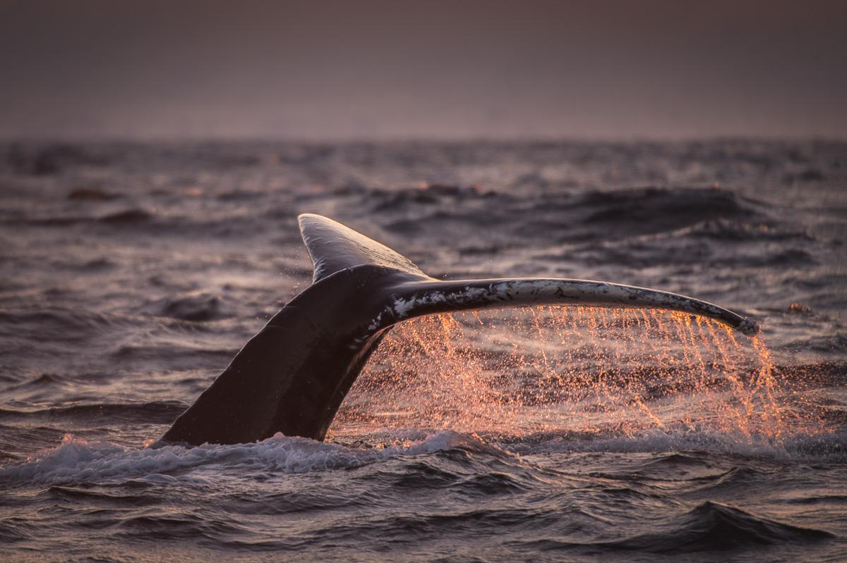 humpback_whale_fluke_sunset_norway