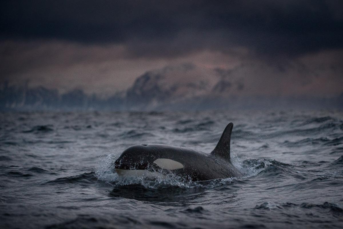 orca fjord senja norway