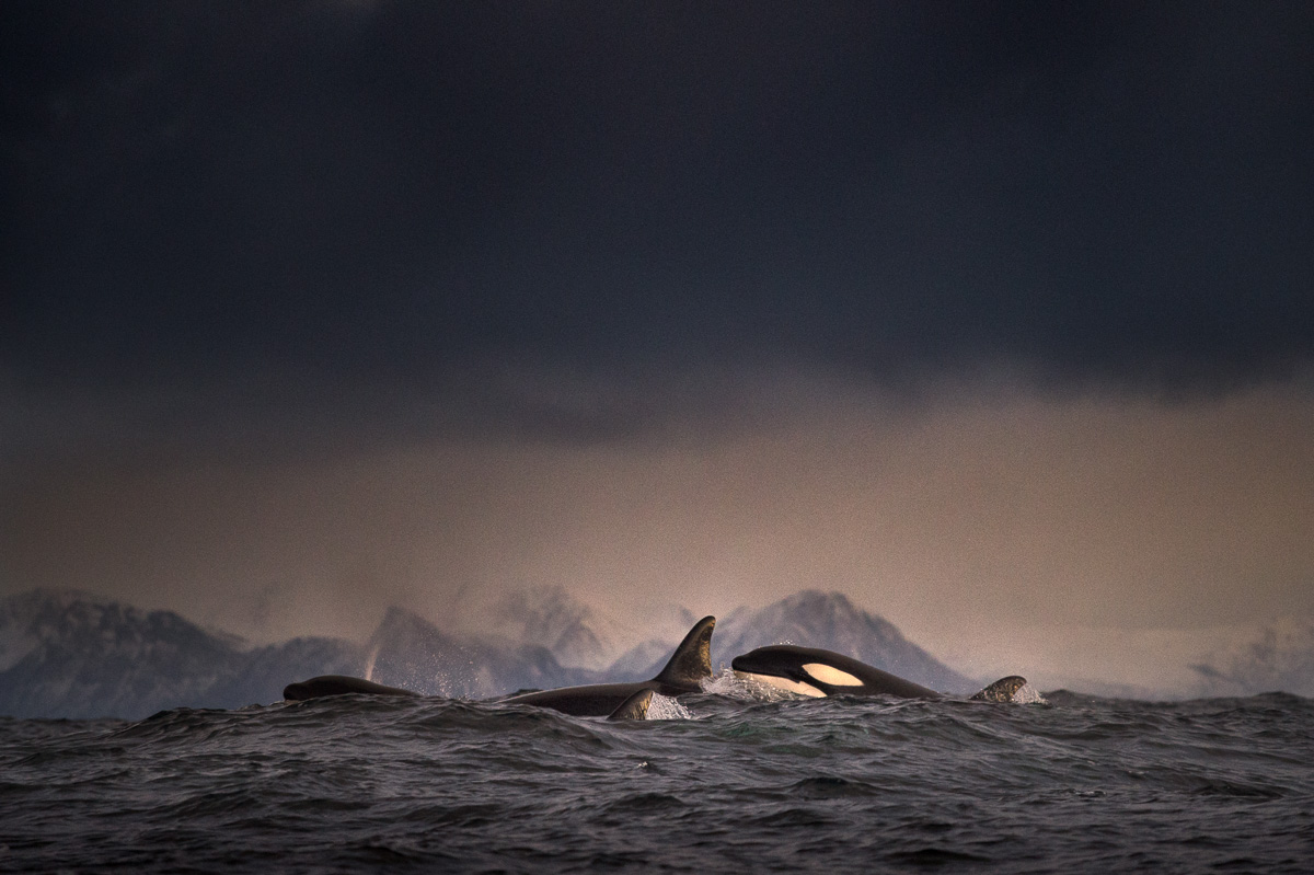 pod orcas travelling andenes senja fjord arctic norway