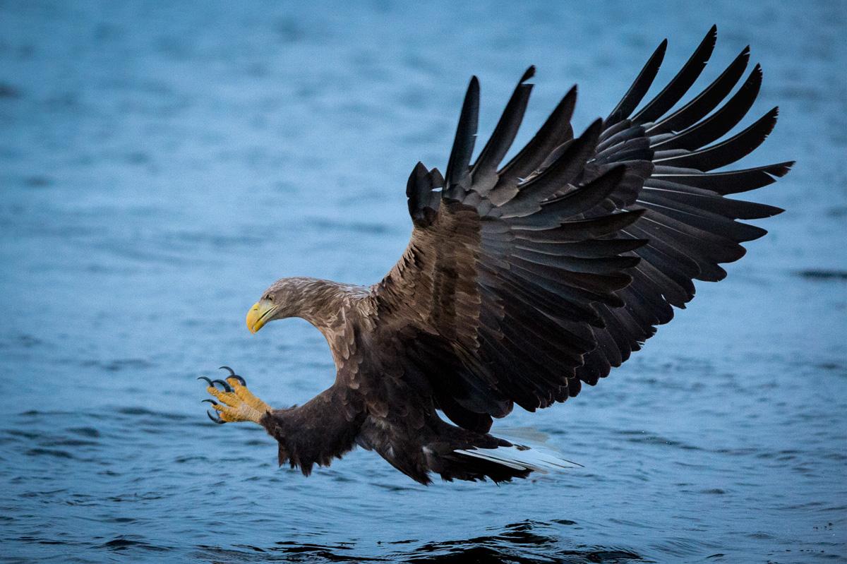 white tail eagle hunt