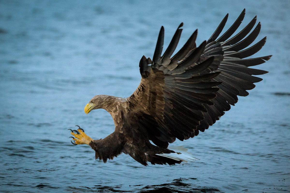 white tail eagle hunt arctic norway