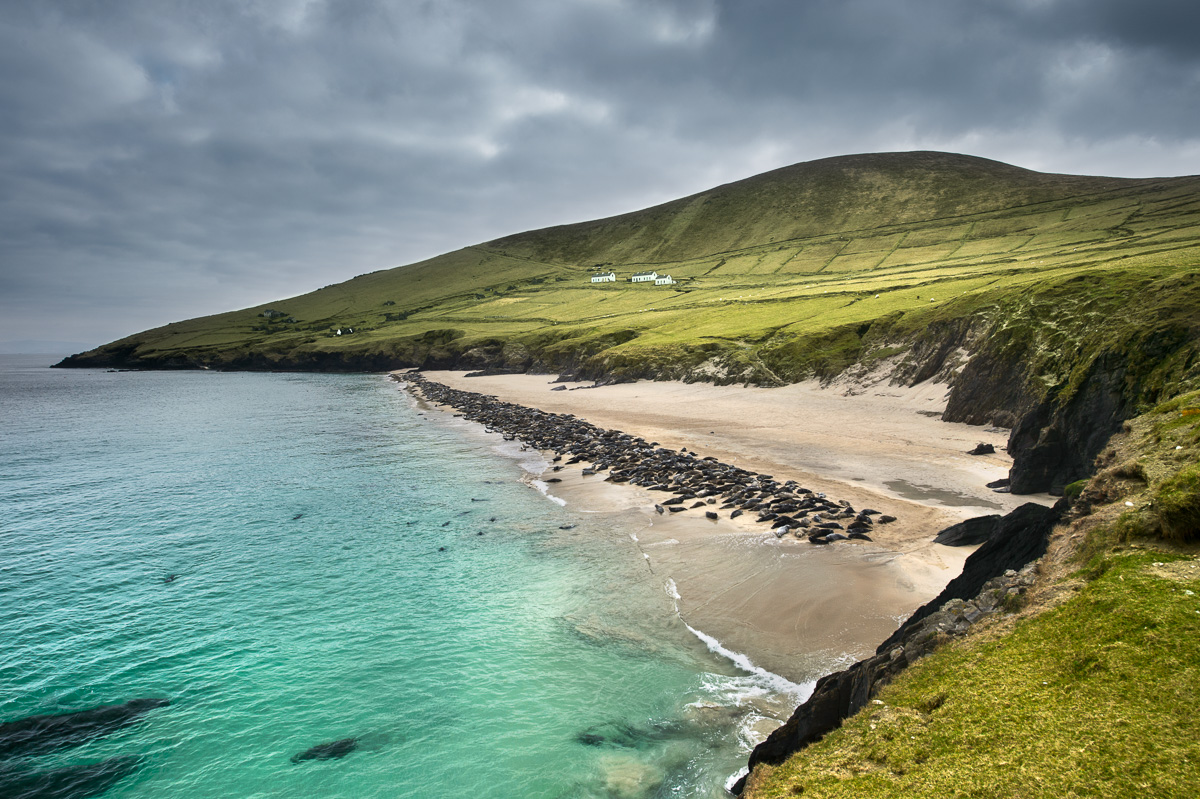 Blasket Island Grey Seal colony