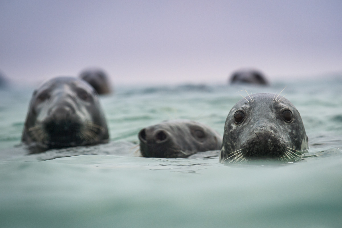 spy hopping grey seals