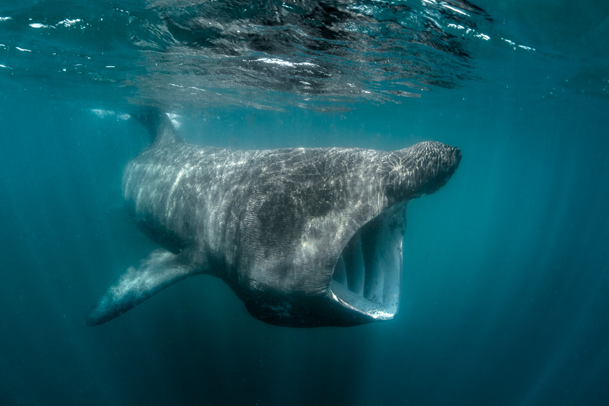basking shark feed in ireland_south_west_cork