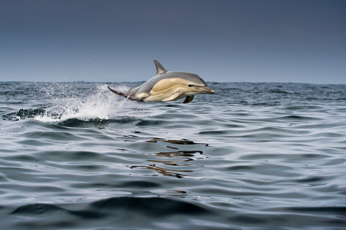 common_dolphin_move_fast