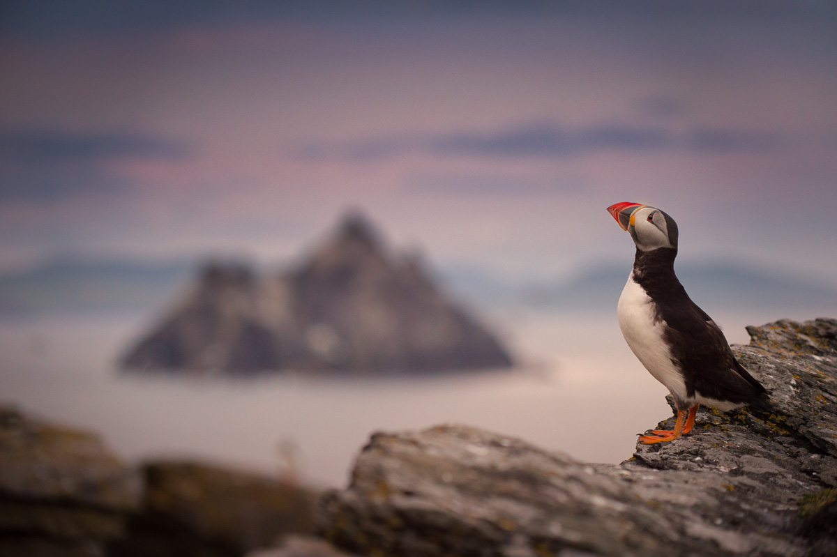 puffin at skellig michael with skellig rock on the background