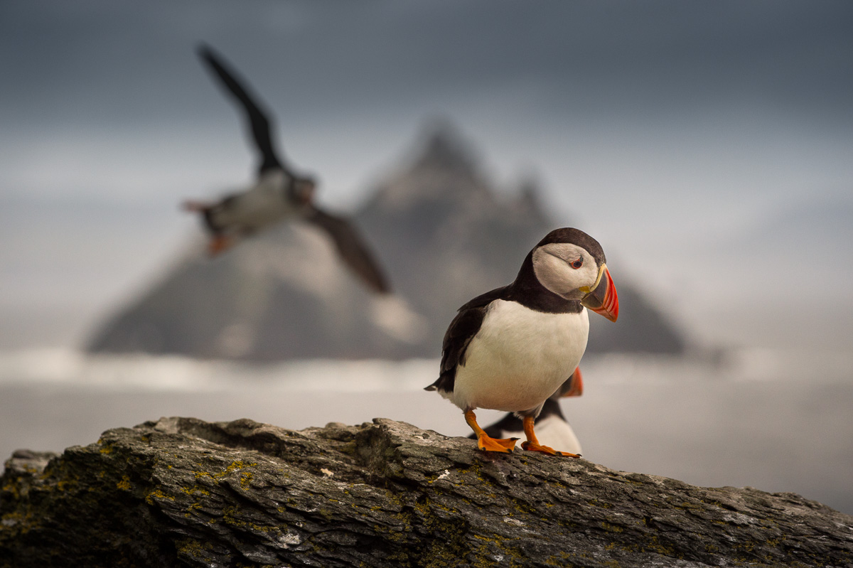 skellig rock flying puffin