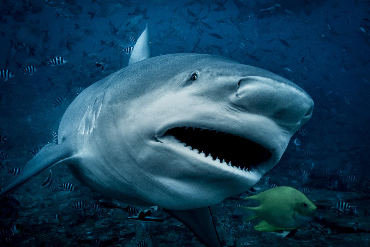 bull_shark_feeding_bega_lagoon_fiji