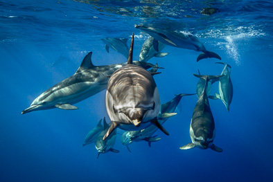 common dolphin look in to camera underwater azores