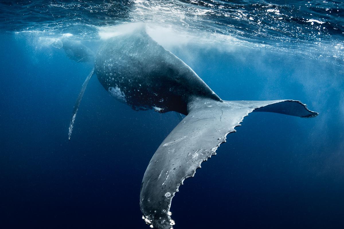 giant whale fluke underwater