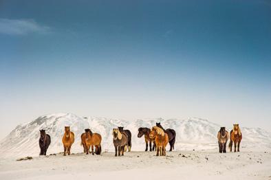 icelandic ponies snow iceland horse