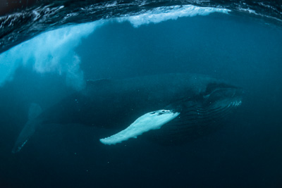 atlantic_humpback_whale_feeding_herring_arctic_norway_underwater