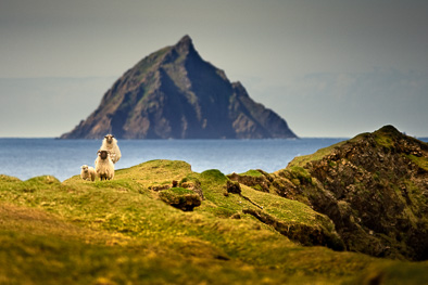 Tearaght blasket island sheep