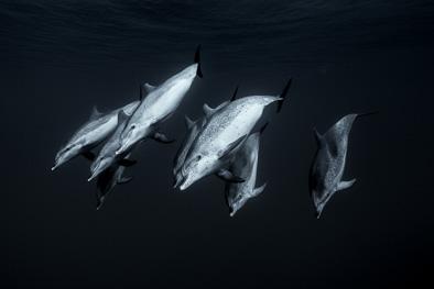 atlantic_spotted_dolphin_deep_sea_tenerife