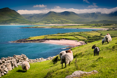 beautiful_kerry_dingel_peninsula_sheep_ireland
