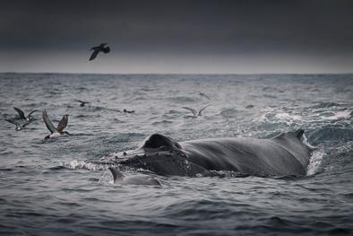 humpback_blow_whole_ireland
