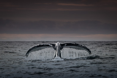 humpback_whale_fluke_tail_ireland_art