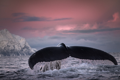 giant humpback whale diving at arctic Norway fluke tail