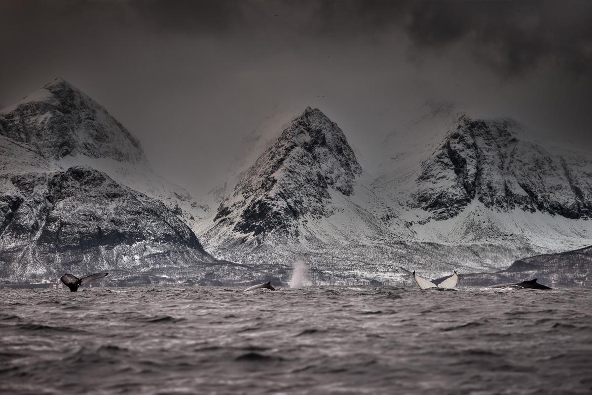 Humpback whale skjervoy