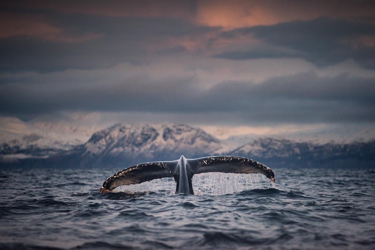 amazing whale photos arctic