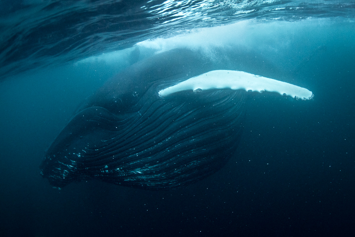 full mouth whale underwater norway
