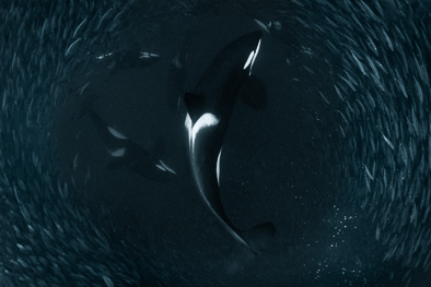 hunting orcas amazing underwater_pictures