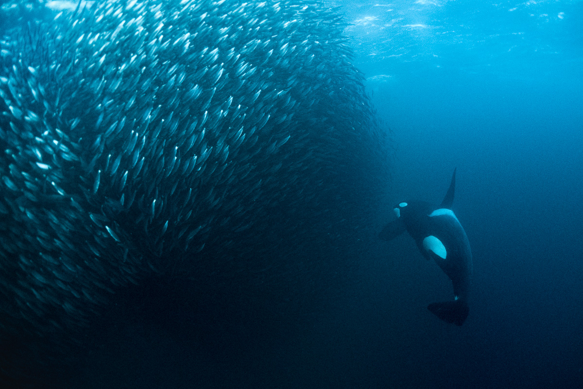 orca catching herring
