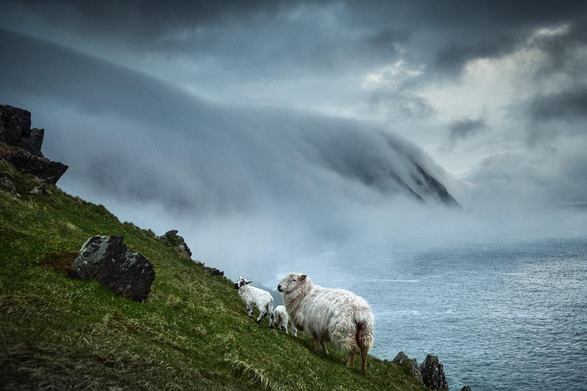 sheep misty landscapes