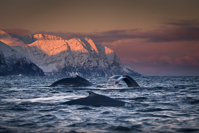 whales_arctic_sunset