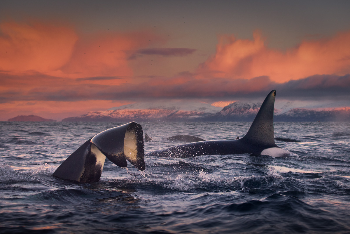 slap tail orcas