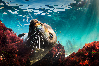 cute_harbour_seal_underwater_photo_seaweed