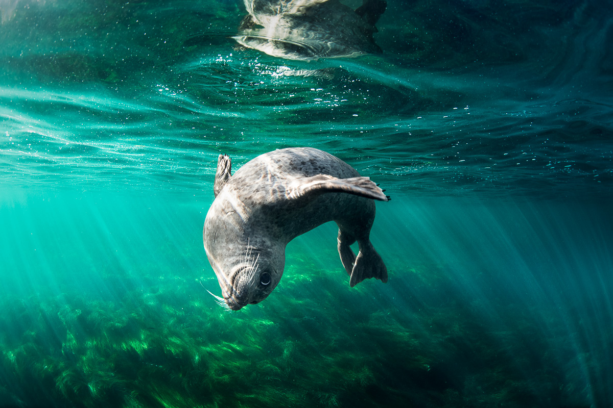 harbour_seal_san_diego