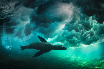 sealion_under_wave_clouds_underwater