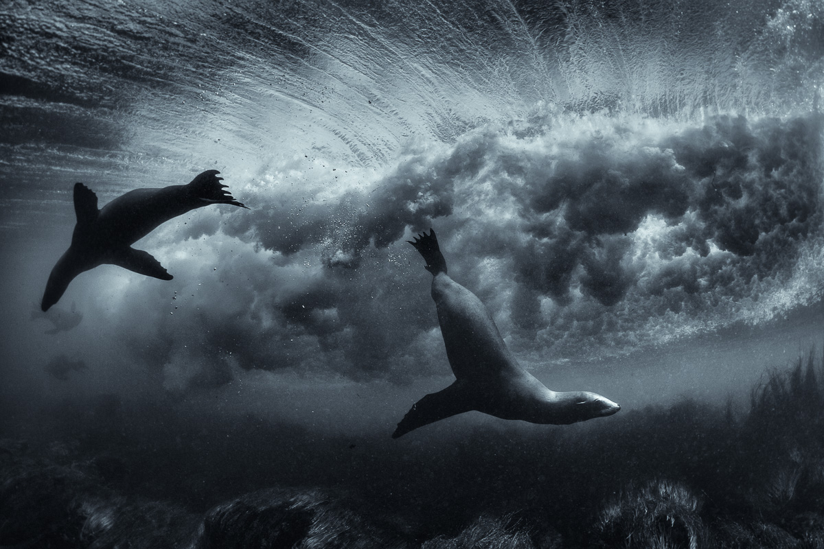 surfing sea lions underwater art photos