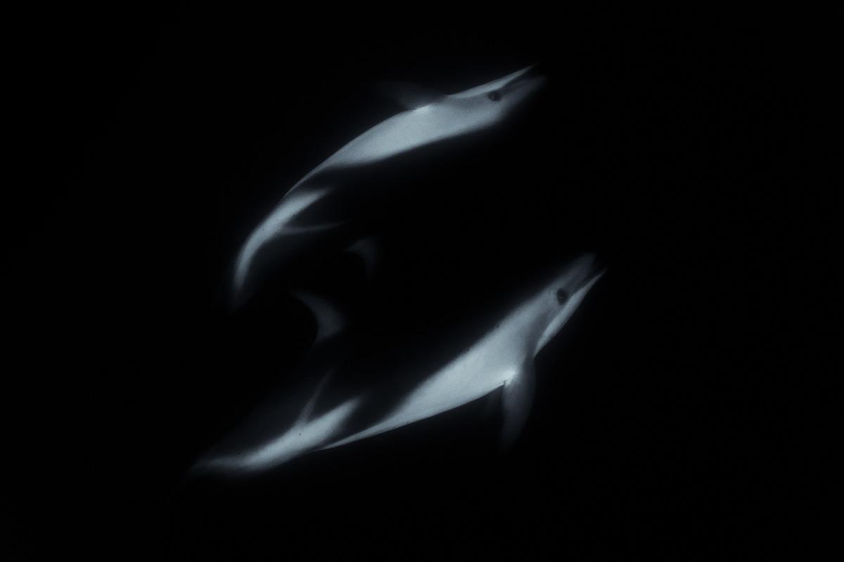dusky dolphin art photo