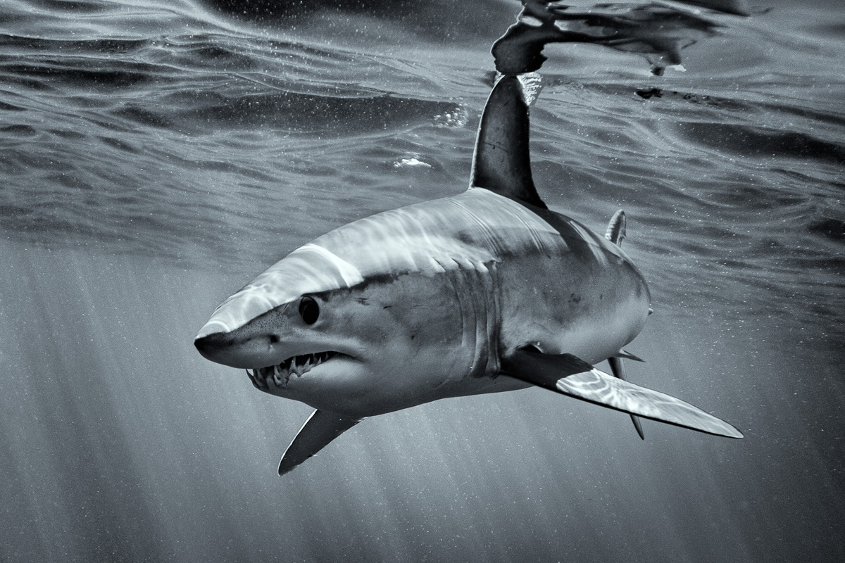 Mako shark art black and white photo george karbus photography