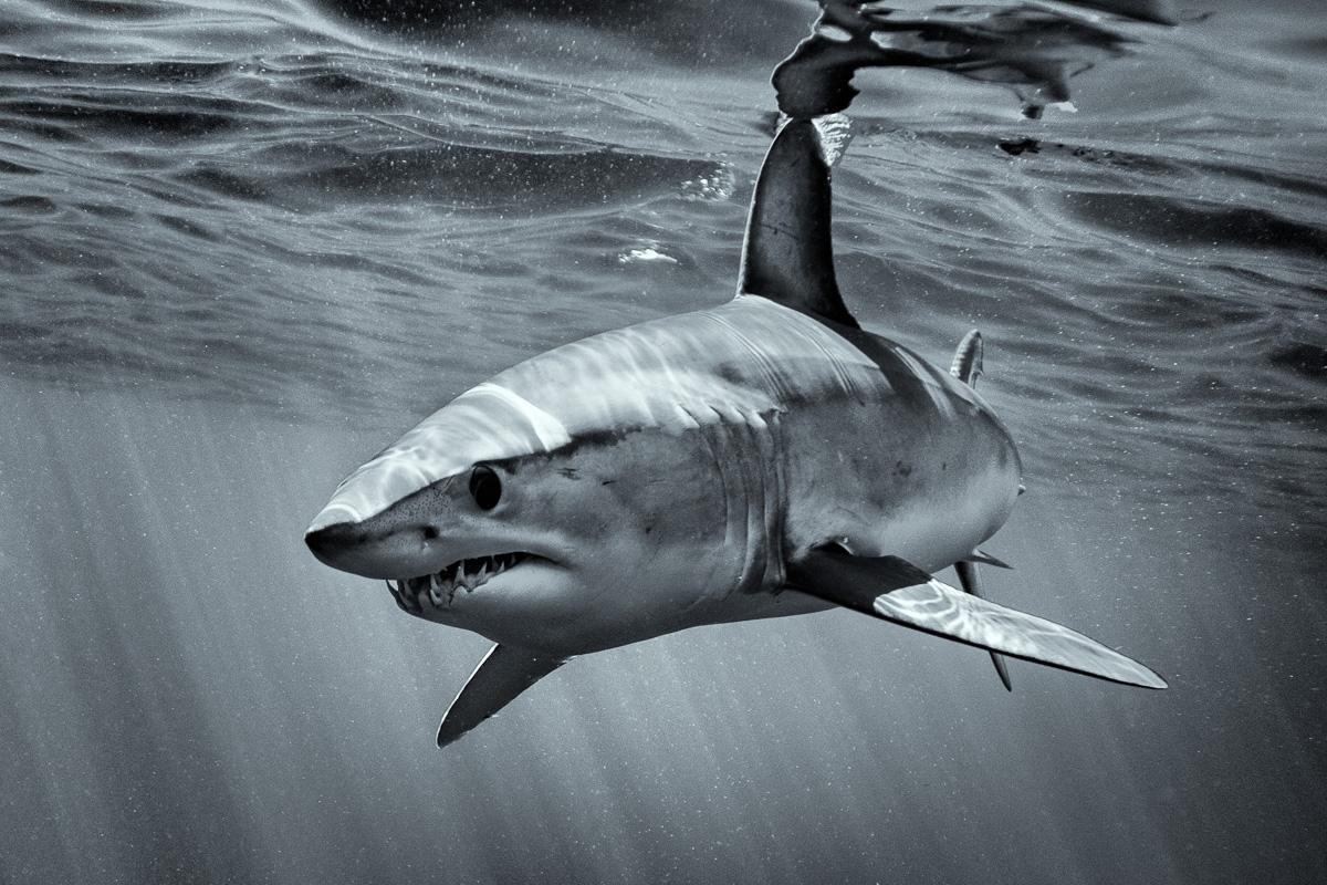 mako shark art black and white photo