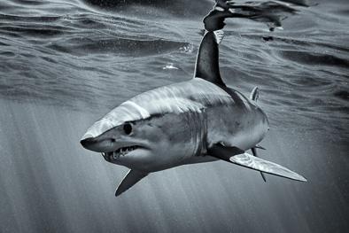 mako shark azores portugal